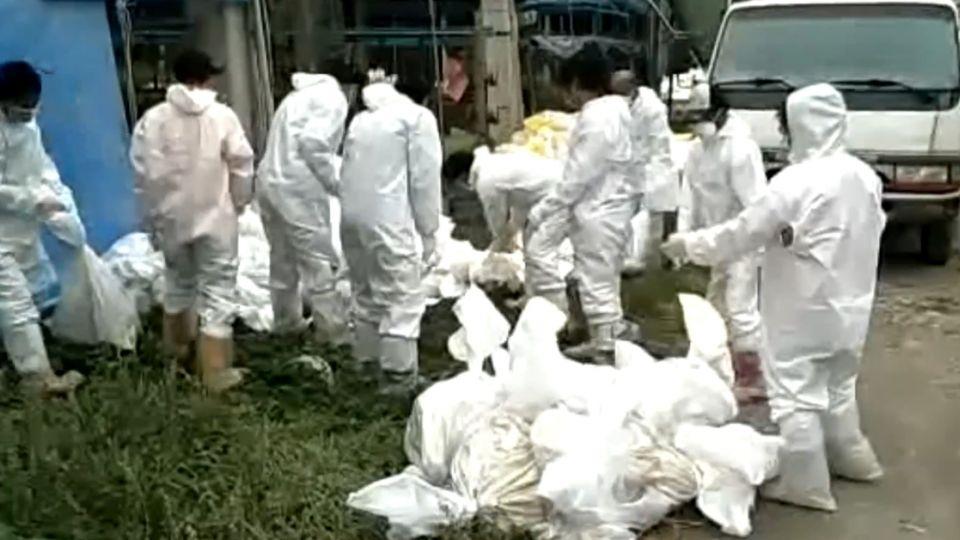 禽流感疫情頻傳 雲林撲殺近4000隻土雞
