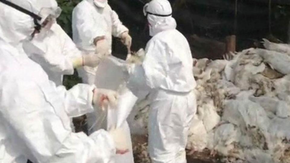 【影片】農委會祭狠招!防禽流感失控 明起全台家禽禁宰禁運7天