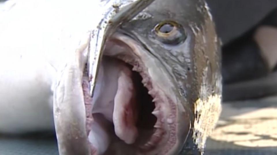 生態浩劫!日月潭魚虎爆量 恐危及萬人泳渡