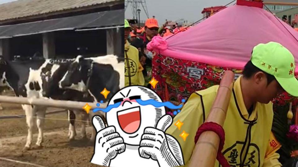 【影片】白沙屯媽祖進入雲林 乳牛「排隊致敬」熱情迎接