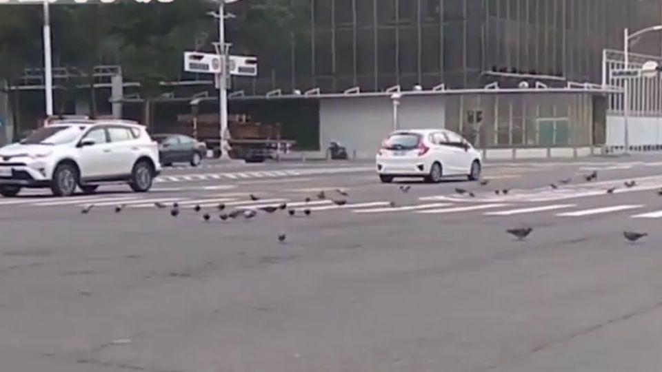 逾百隻鴿子霸占馬路 汽機車驚險急煞