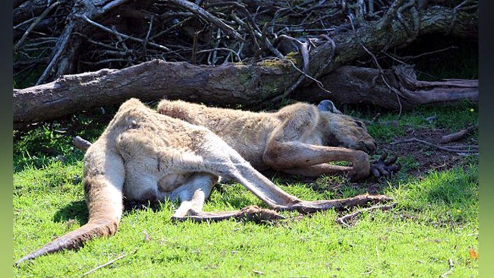 動物園悲歌!3年死500隻動物 美洲虎餓到啃光自己腳掌