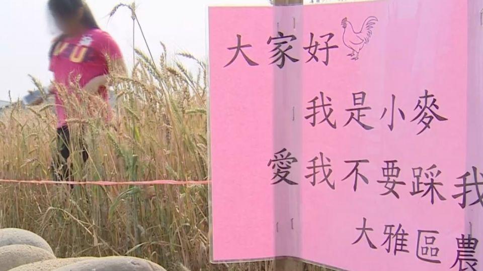 大雅小麥文化節 直擊遊客為拍照踩壞田