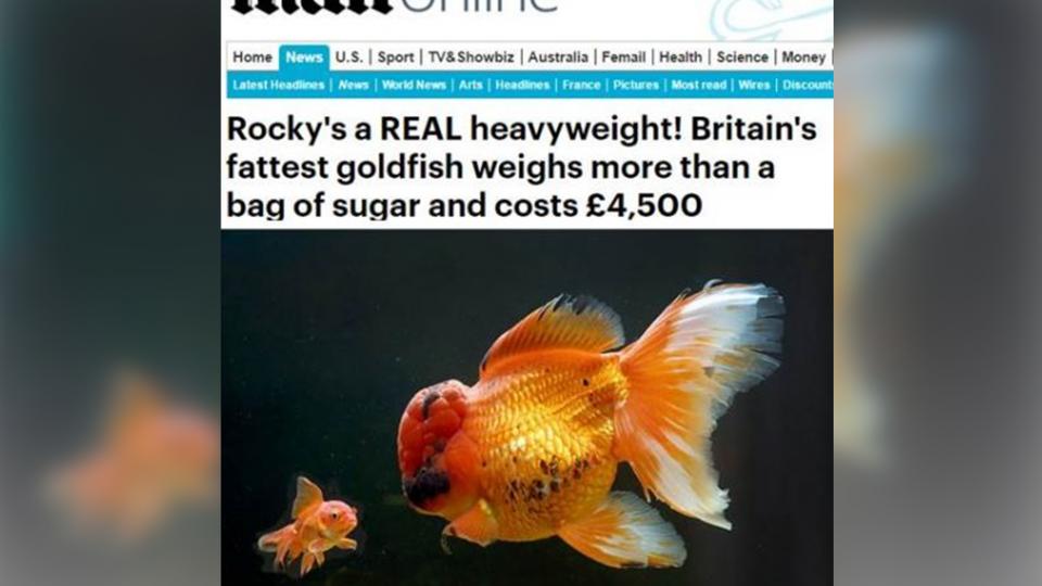 比一袋糖還重! 英國「巨無霸」金魚要價17萬