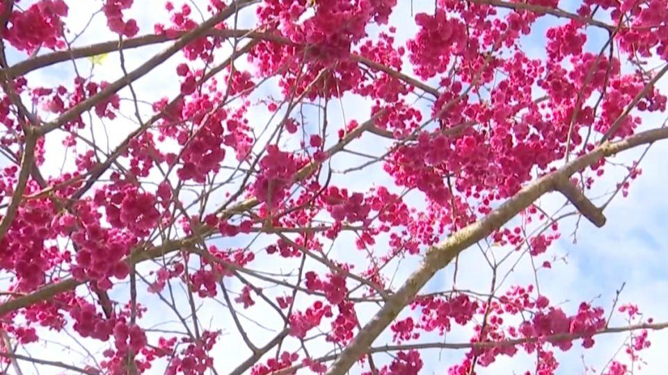打造最美櫻花勝地 台商西進拚觀光