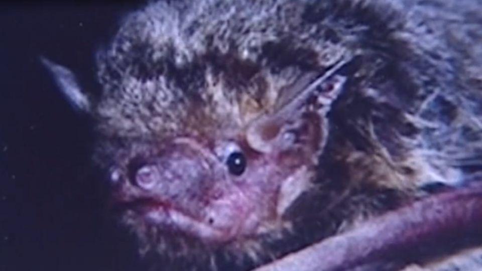 全球第二例! 雲林蝙蝠驗出新型麗莎病毒