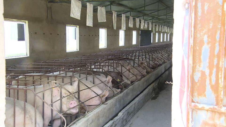 端午豬肉恐供不應求 豬價飆破90元、粽子喊漲
