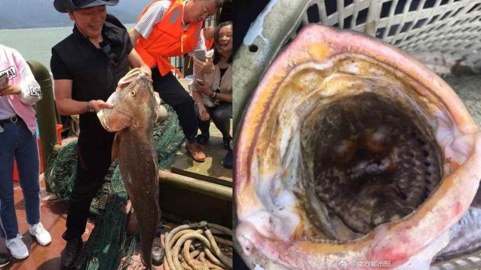 貴如黃金!漁民捕獲「上等大補品」 這條魚竟值1500萬