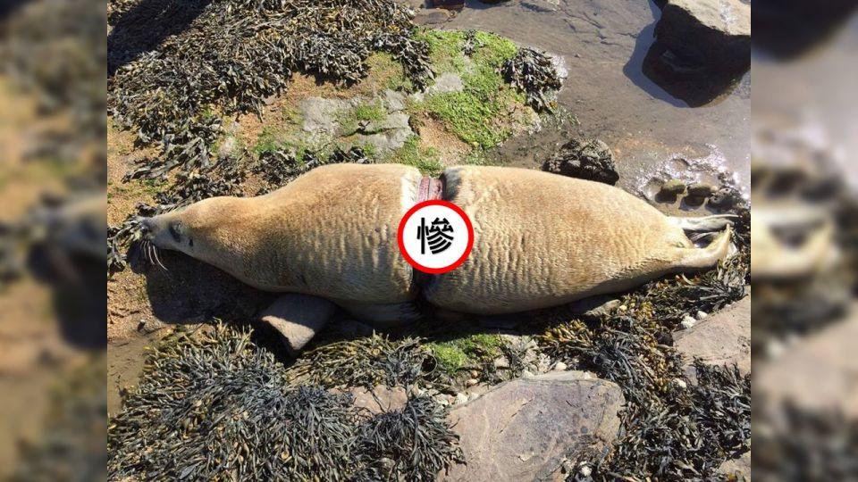塑膠環纏身如緊箍咒!陷海豹內臟 慢慢折磨致死