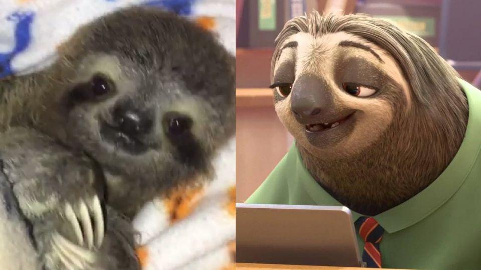 牠是《動物方城市》最慢公務員 但現實中「樹懶」卻面臨致命危機