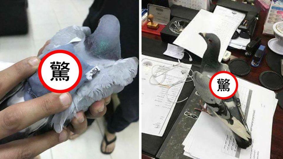 飛鴿「揹書包」運毒 狂飛700公里遇警腿軟自投案?!