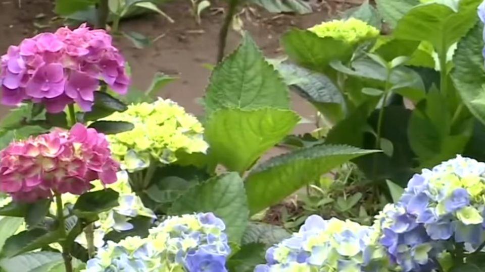 連假第一天上山賞花 竹子湖繡球花開近5成