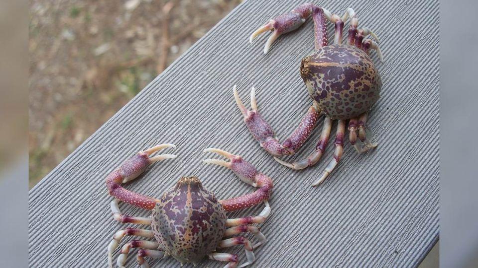 誤認私處是「生蠔」 裸曬女海邊遭螃蟹「偷襲」慘叫