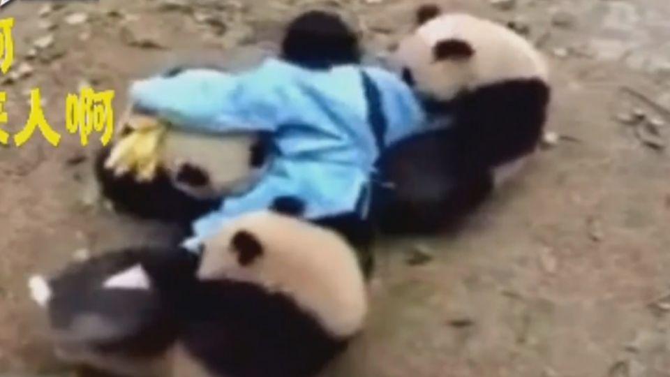 超萌!多年照顧人員要離職 貓熊死抱大腿不放