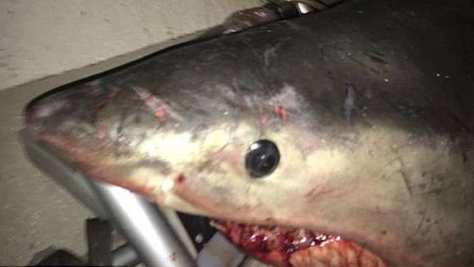 釣魚驚魂記!200公斤大白鯊「飛撲上小船」 60年老漁夫被嚇壞
