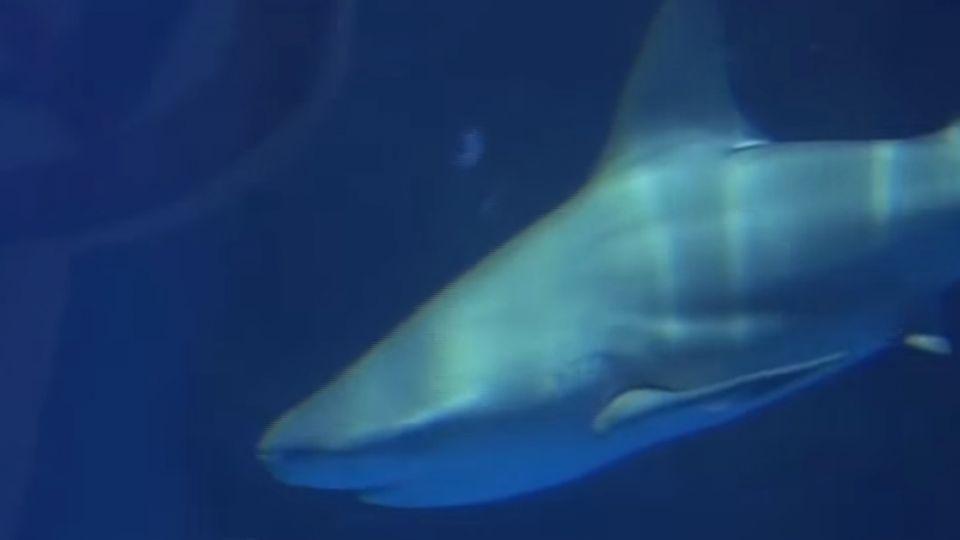 墾丁萬里桐海域 出現一公尺長鯊魚蹤影