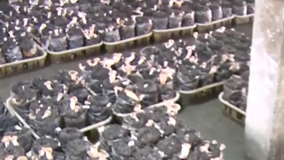 彰化驟雨灌菇寮 如泳池太空包全泡水中