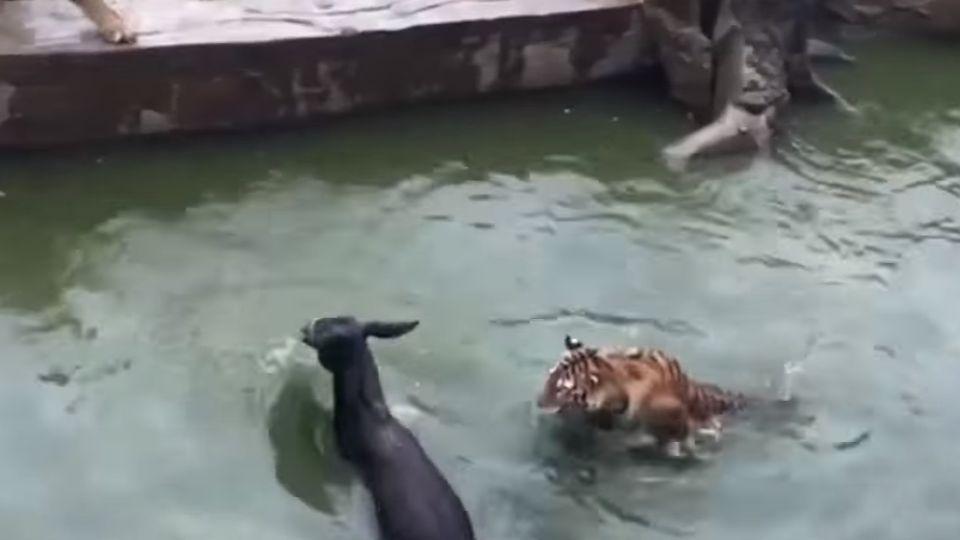 殘忍!動物園股東財務糾紛 將活驢送入虎口