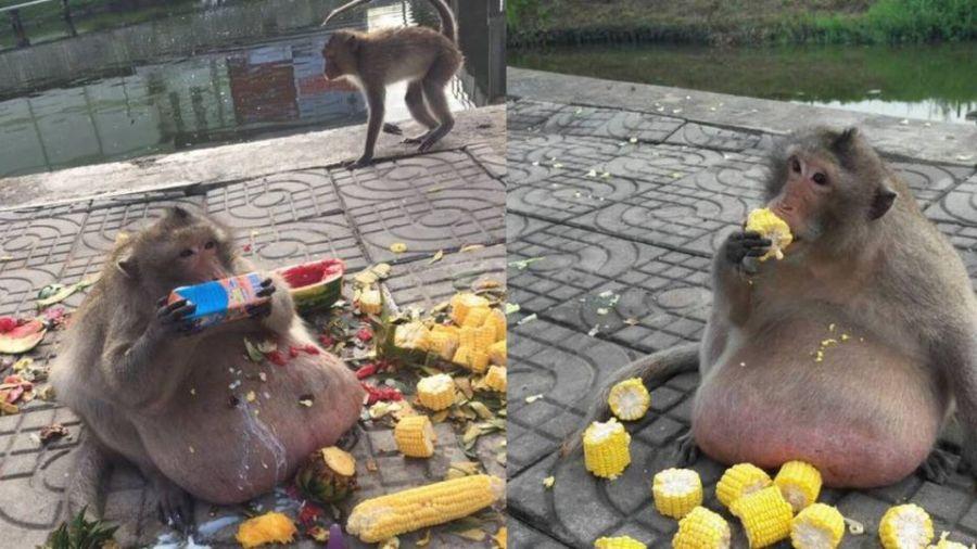到處坐著吃 !遊客每天餵食獼猴「胖叔」 強制減肥7公斤