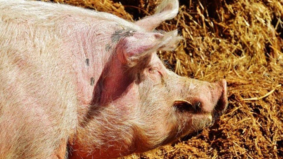殘忍!28歲女酒後砍殺8旬男友還分屍 狠剁頭顱餵豬吃