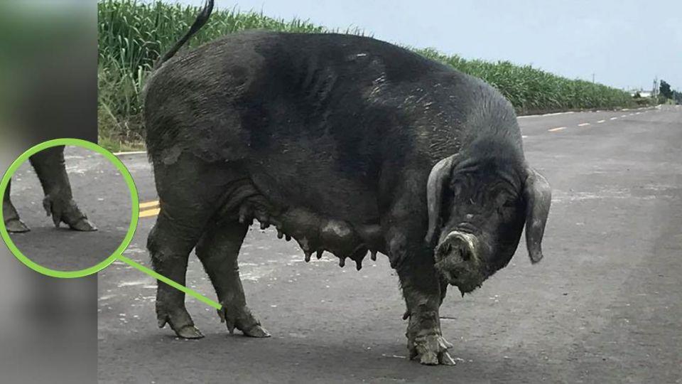 驚!彰化「五爪豬」馬路亂竄 網嚇:人類投胎不能殺