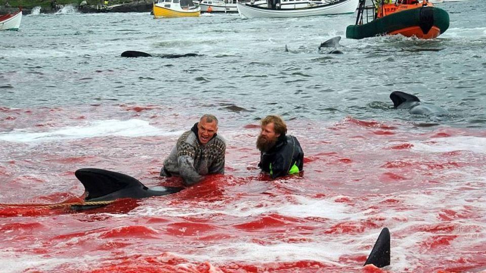 殘忍!每年夏天血染海面 1000隻鯨魚被砍殺 「慢慢流血至死」