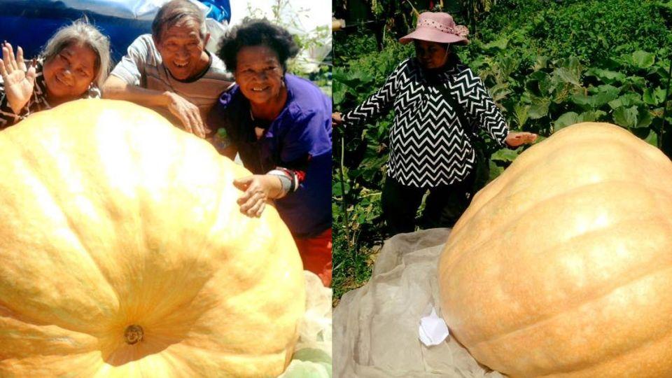 一眠大15斤!「超級南瓜」比人還大 全部落才吃得完