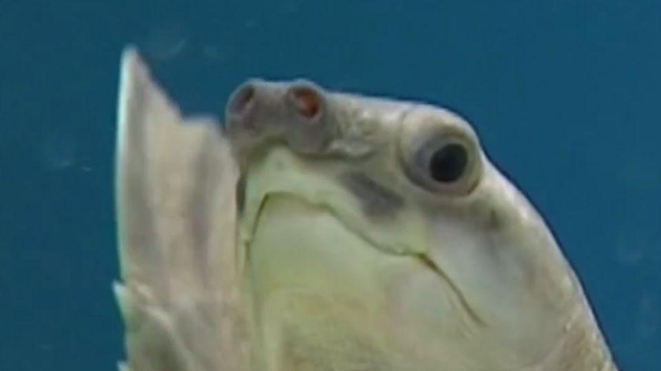 曾是火紅寵物! 豬鼻龜列保育禁販售