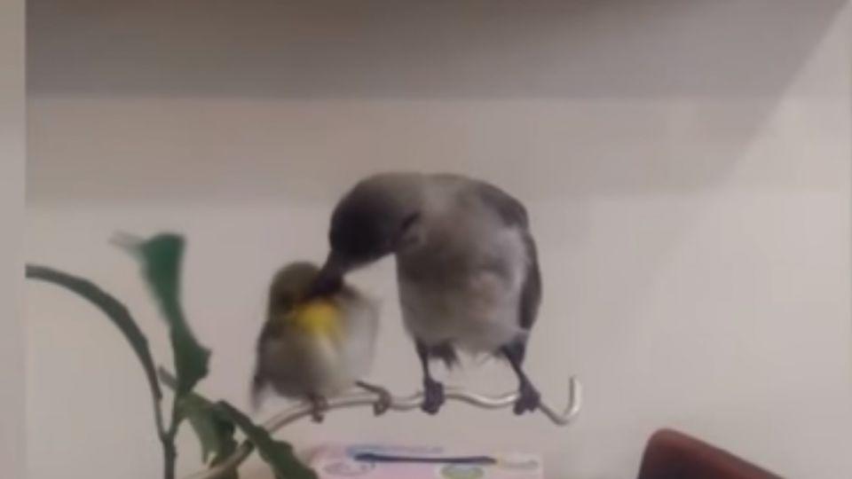 幼鳥餵食幼鳥!白頭翁扮媽媽 餵食綠繡眼