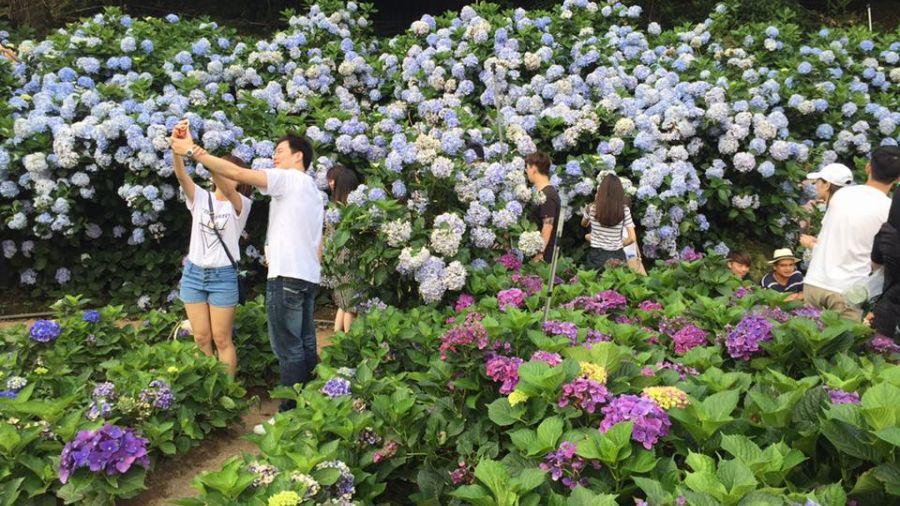 看過來!繡球花「萬朵齊放」IG爆紅 9處賞花秘境整理