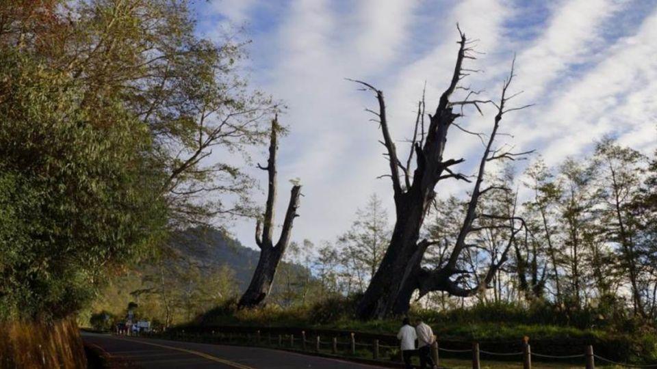 玉山塔塔加夫妻樹「訣別」 夫樹今晨轟然倒下
