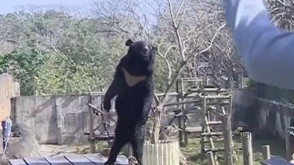 又闖禍! 黑熊「波比」翻牆逃 險威脅遊客