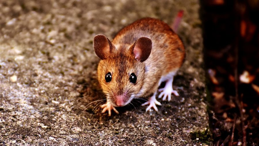 百貨排隊吃花月嵐拉麵 3歲兒低頭腳邊驚見「完整鼠屍」