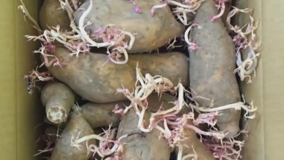 超商烤番薯發芽 去芽後仍可食 口感有差