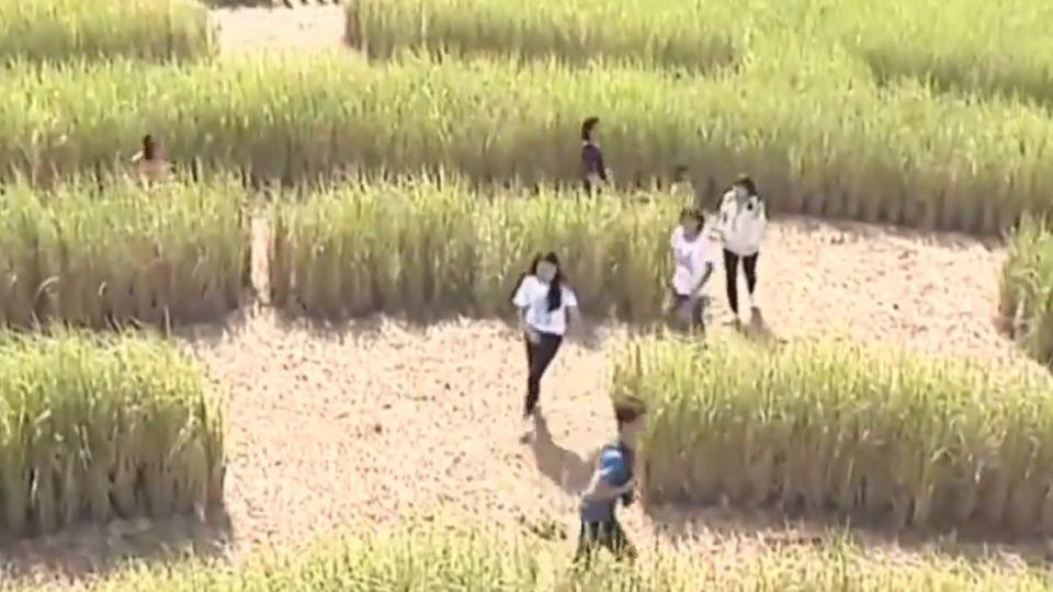 稻田迷宮新景點 天熱稻葉枯萎美感失色