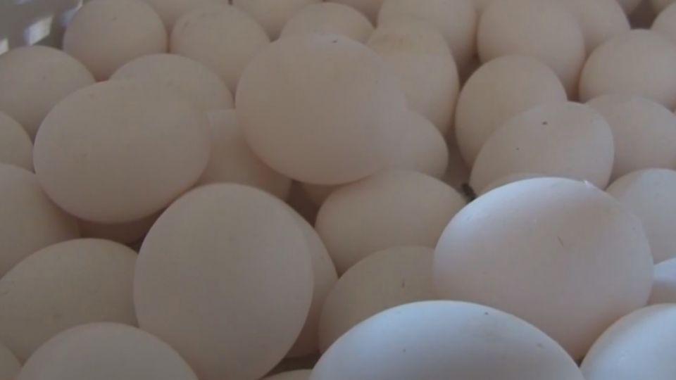 雞蛋殘留芬普尼 蛋農:同業用殺蟲劑除蒼蠅