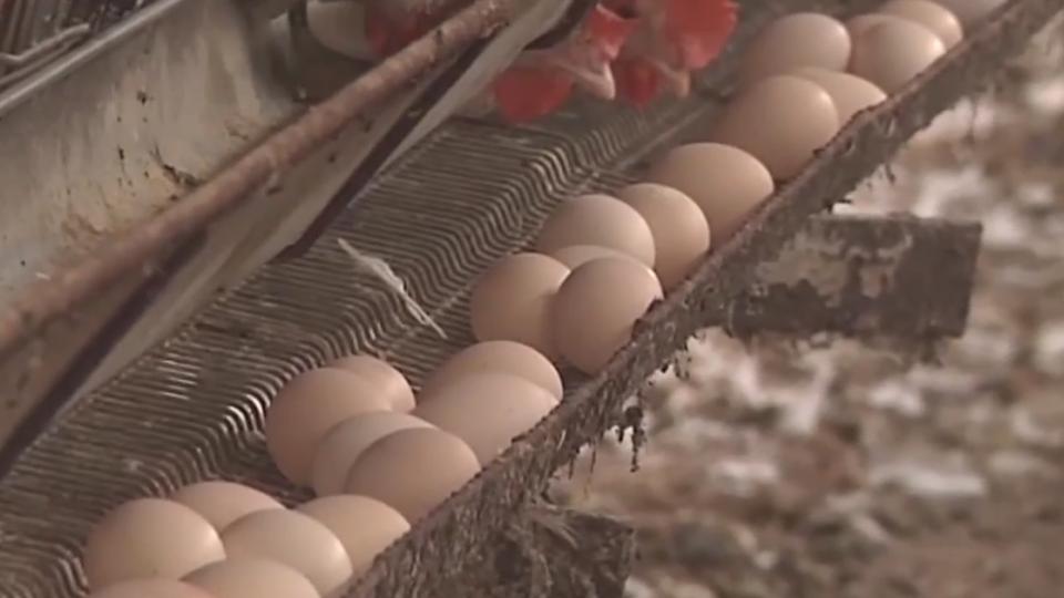 彰化三蛋雞場 雞蛋驗出芬普尼 最高超標30倍