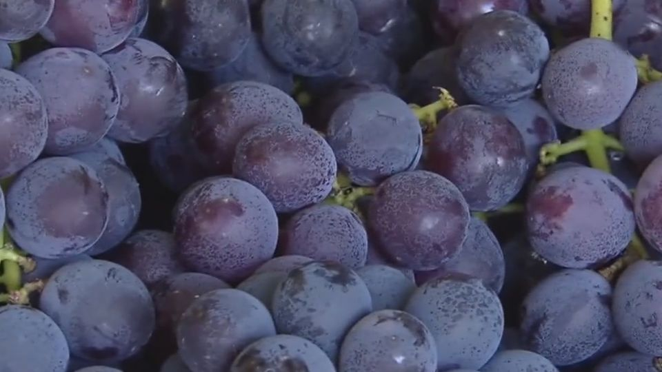 卓蘭7到9月葡萄季 湧遊客樂嘗採果趣