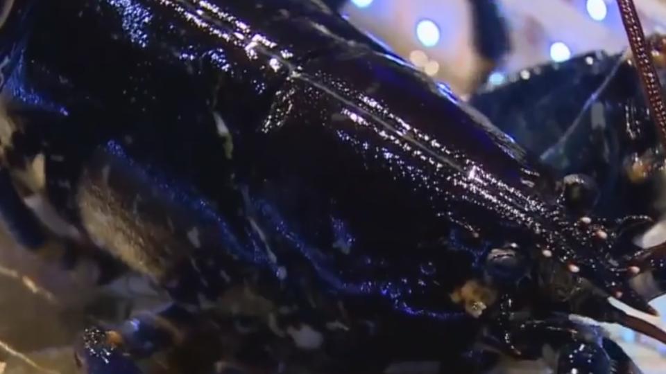 帝王蟹吃到飽加碼 頂級法國藍龍蝦吸客