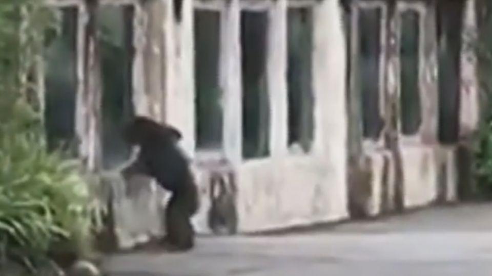 驚! 木柵動物園黑猩猩莎莉 爬出欄杆逛大街