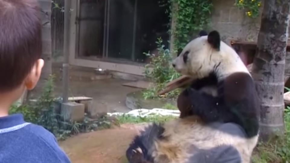 傳奇貓熊巴斯病逝 享年37歲相當百歲人瑞