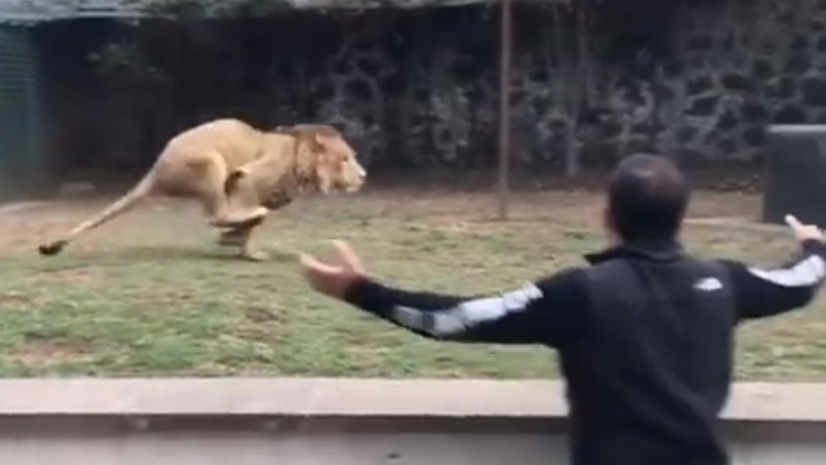 【影片】看到救命恩人太嗨!獅子急剎滑壘摔出 呆萌樣笑翻眾人