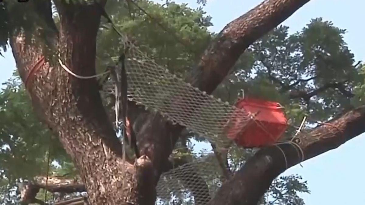 阿伯樹上睡午覺 吊床離地十五公尺