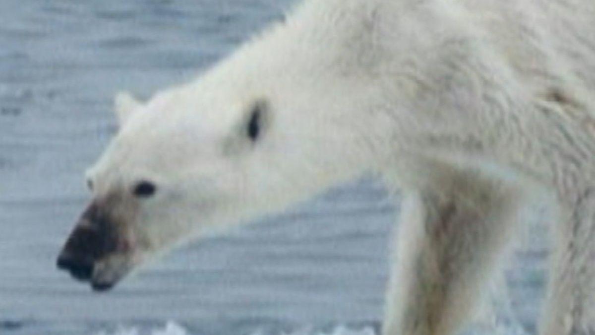 北極熊餓到瀕死影片曝光 暖化惡果令科學家流淚