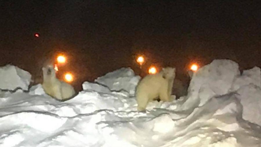 【影片】餓壞了!北極熊疑覓食 誤闖阿拉斯加機場跑道