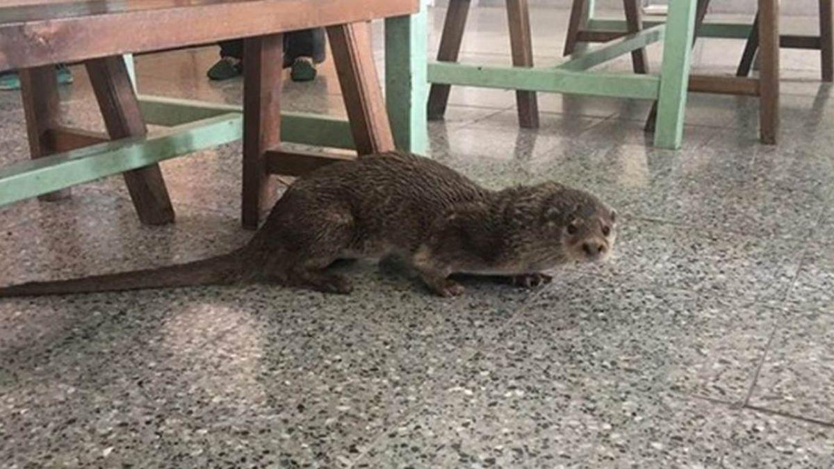 頭上流膿…珍貴野生小水獺溜進學校!女老師看成老鼠嚇歪
