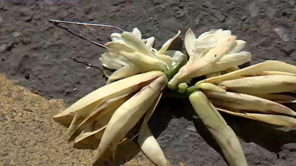 「車道上賣玉蘭花」的圖片搜尋結果