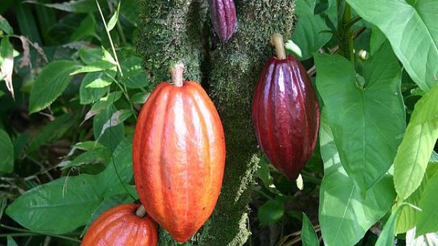 氣候暖化害死可可樹 最快2050年後吃不到巧克力