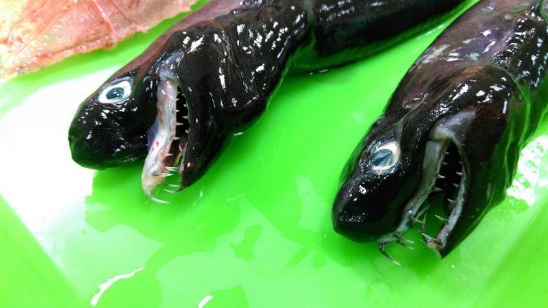 世界級罕見!台東捕獲「外星怪魚」 藍眼尖牙外媒好興奮