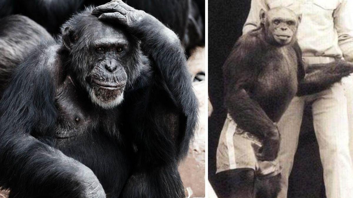 人猩混種成功!牠百年前曾誕生 才活沒幾天…科學家就殺了